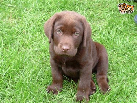 chocolate labrador puppy chocolate labrador puppy bolton greater manchester pets4homes