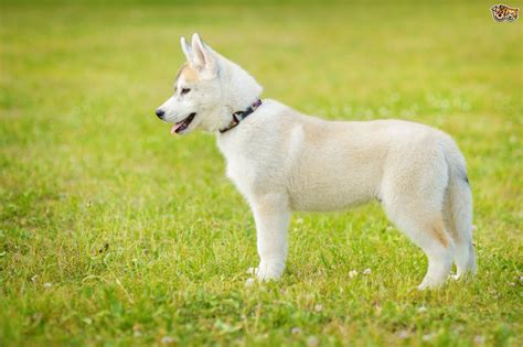 husky puppy facts siberian husky breed information buying advice photos and facts pets4homes
