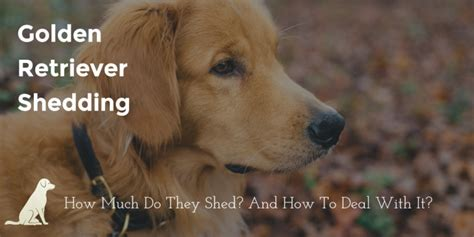 do golden retriever shed breeds archives page 2 of 2