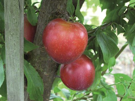 fruit tree supplies plums