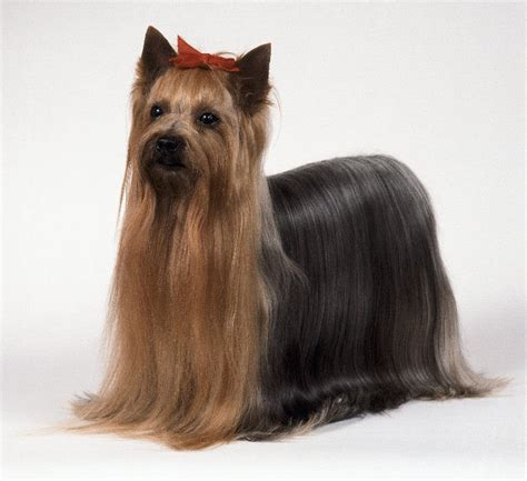 yorkie vs terrier terrier vs dachshund about animals