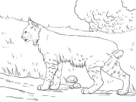 bobcat coloring page crouching bobcat coloring page supercoloring com