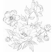 Peony Drawing  Images