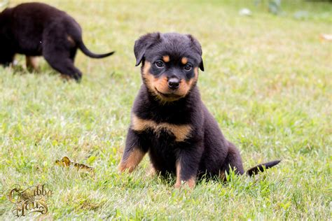 purebred rottweiler puppies for sale in nj rottweiler puppies for sale carrabba haus rottweilers german rottweiler puppies