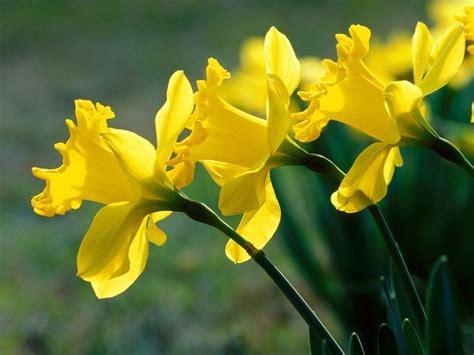 fiori narciso bulbi narcisi bulbi coltivare narcisi