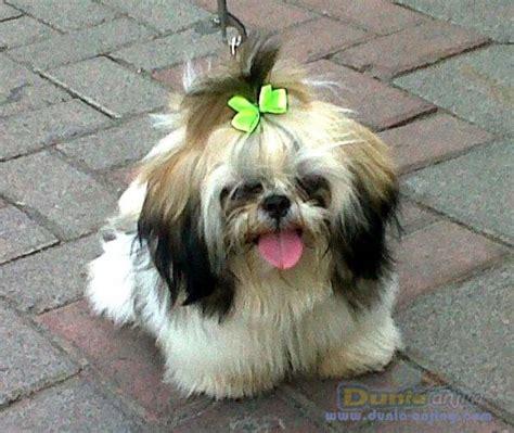 Jual Kandang Pagar Anjing Surabaya dunia anjing jual anjing shih tzu jual cepat anjing