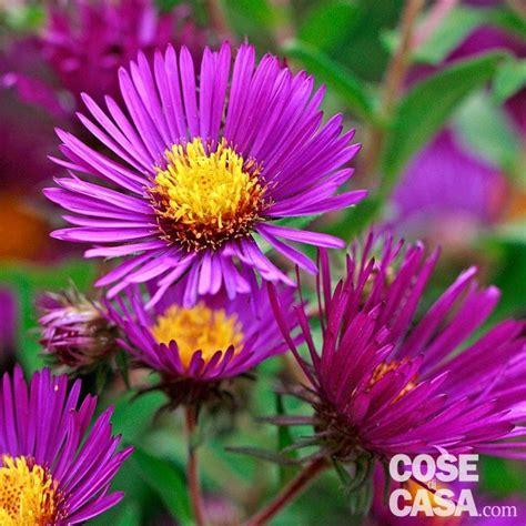 fiori colore viola astri settembrini cose di casa