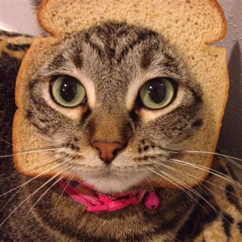 81 best images about cat therapy v 2 0 on pinterest cats pug bread and spaniels