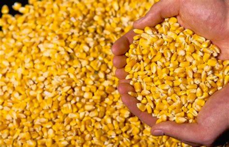 Petani Jagung Pakan Ternak jual jagung pipil kering hasil petani amn partai besar