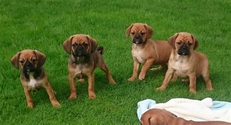 pug x cavalier for sale stunning pug x cavalier puppies for sale uttoxeter staffordshire pets4homes