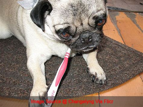 pug teeth problems 3 simple ways to keep your pug s teeth clean iheartdogs