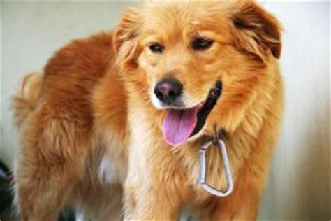 foto vasco gratis perro vasco descargar fotos gratis