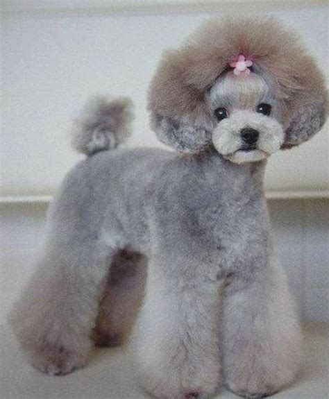 miniature french poodle hairstyles asian fusion miniature poodle groom dog grooming