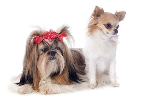 Shih Tzu Chihuahua Mix Shedding by Personality Traits Of A Tiny Shih Tzu