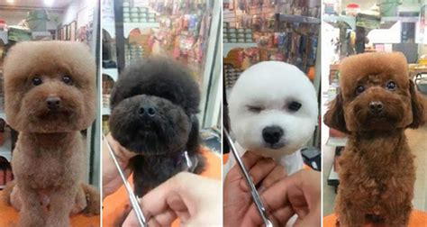 round face dog cut taiwan sets the trend stylish haircuts for your dog