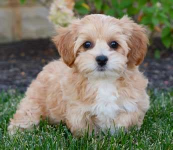 cavapoo puppies illinois cavapoo puppies by design