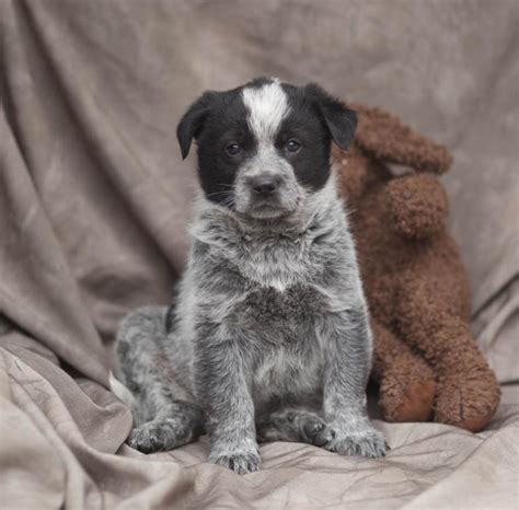blue heeler puppies for sale in ky affectionate blue heeler puppies craigspets