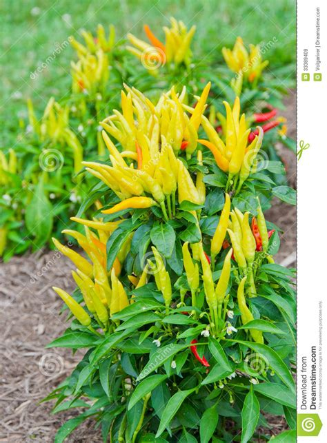decorative pepper plants ornamental decorative peppers stock image image of