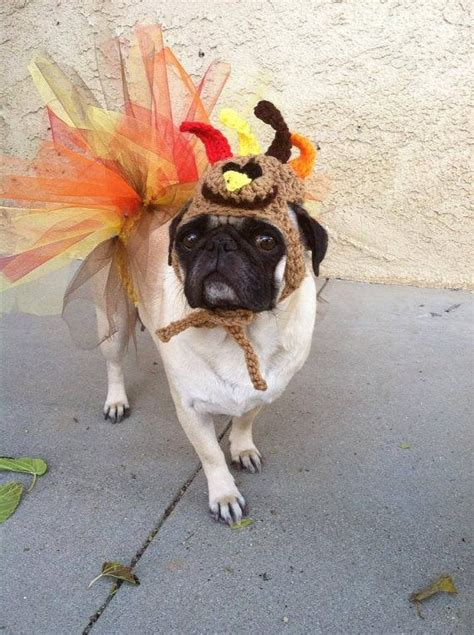 thanksgiving pug pictures 25 great ideas about costumes on puppy costume puppy