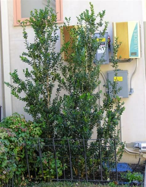 narrow screening plants for southern california part 2