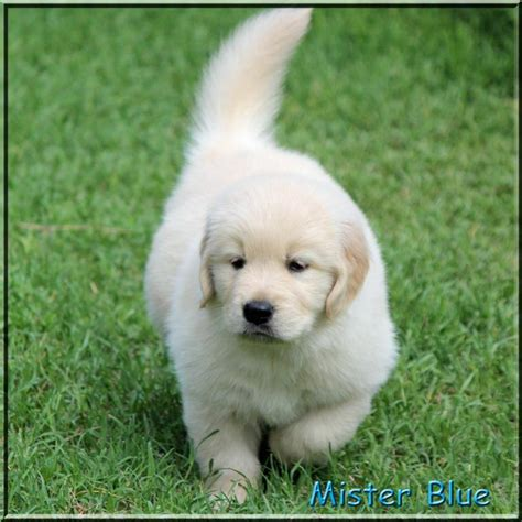 golden retriever puppies tn golden retriever breeder tennessee dogs our friends photo