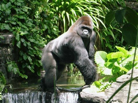 silverback gorilla bench press 74 best images about gorillas on pinterest mountain