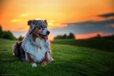 amazing free dog wallpapers to download graphicmania tlcharger fond d ecran ami fond berger australien
