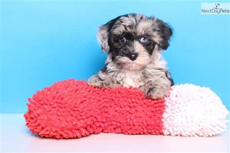 blue yorkie poo chief yorkiepoo yorkie poo puppy for sale near columbus ohio b89c16be ab31