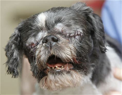 shih tzu eye infection blind shih tzu stevie has eye treated for infections toledo blade