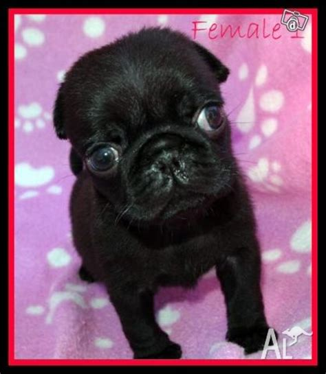 pug puppies available black pug puppies available to loving homes for sale in cranebrook new south wales