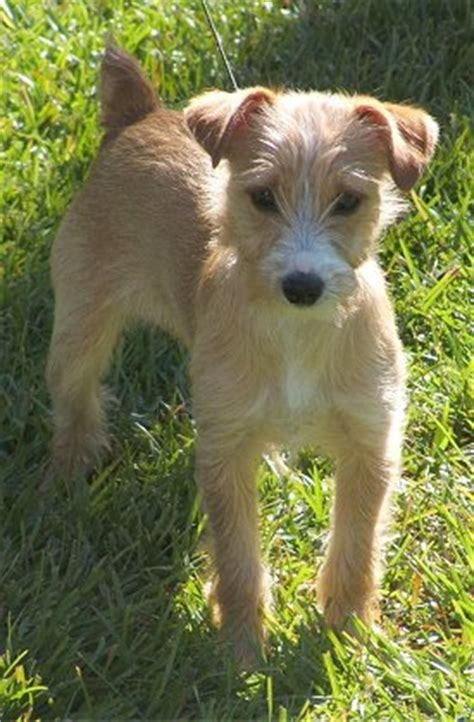 yorkie cross breeds 14 terrier cross breeds you to see to believe
