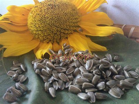 Biji Bunga Matahari Jual jual benih biji bunga matahari sun flower pe shop