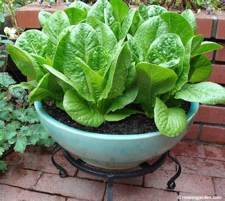 container garden lettuce renee s garden container veggies lettuce quot sweetie baby