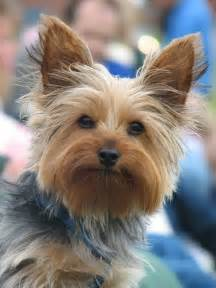 50 damn cute yorkie haircuts for your puppy hairstylec