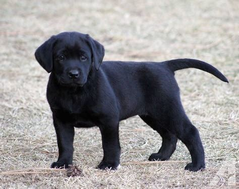 lab puppies for sale in montana chion sired black labrador retriever puppy for sale in victor montana classified