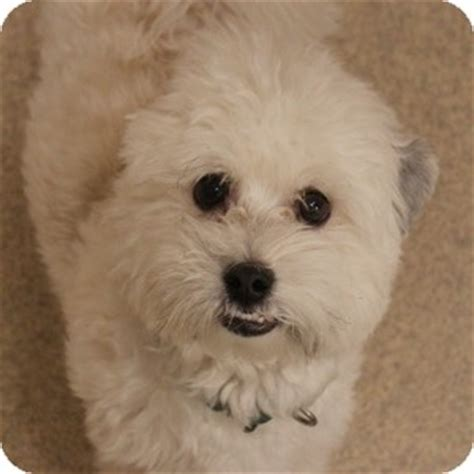 havanese adults for adoption doodles adopted 14 0025 naperville il havanese mix