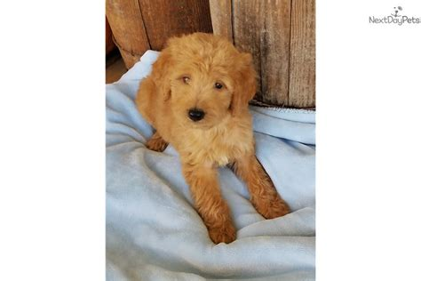 goldendoodle puppy nutrition winston goldendoodle puppy for sale near kansas city