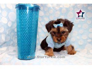 yorkies for sale in orange county terrier puppies for sale tiny micro teacup yorkie puppies for sale in los