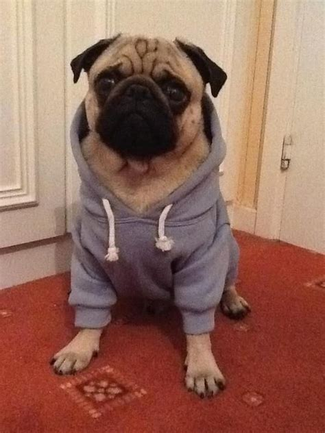 pug puppy clothes 23 best dogs wearing clothes images on humorous animals pretty animals