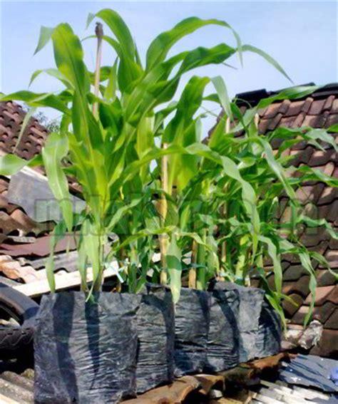 Berkebun 26 Jenis Tanaman menanam jagung di atap rumah menggunakan polybag solusi berkebun di lahan sempit