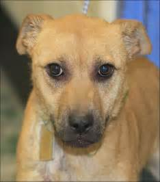 Dogs For Adoption Lucas County Dogs For Adoption 1 12 Toledo Blade