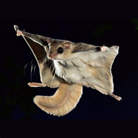 mammifero volante scoiattolo russo volante paradiso esotico