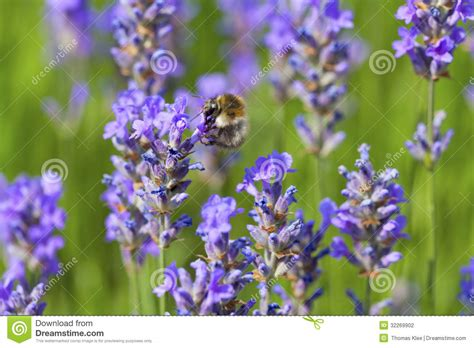 bumblebee on flowering lavender stock photography image
