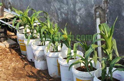 Menanam Jagung Hidroponik | 12 tahap mudah menanam jagung di pot polybag agar subur
