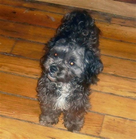 shih tzu poodle mix chicago 25 best ideas about shih tzu poodle mix on shih tzu poodle baby