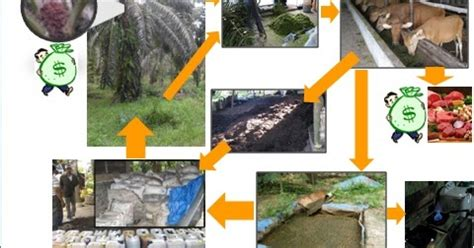 Pupuk Kandang Sapi Untuk Kelapa Sawit sistem integrasi sapi kelapa sawit
