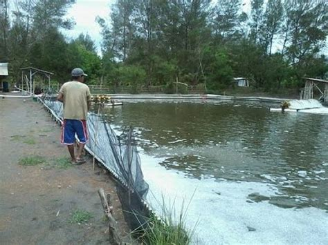 Bibit Ikan Nila Subang budidaya ikan subang doovi