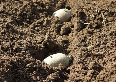 blumenkohl wann ernten fr 252 hkartoffelanbau teil 1 vortreiben anbau und ernte