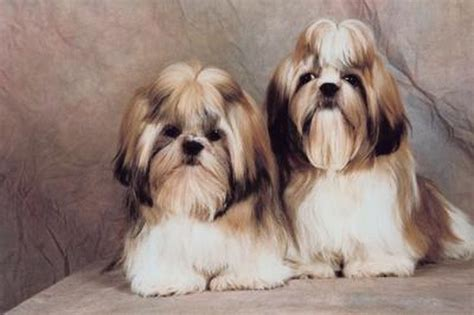 clippers for shih tzu how to use electric clippers to cut a shih tzu s hair cuteness