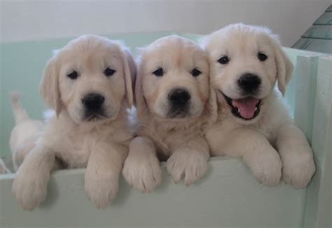 golden retriever puppies in alabama golden retriever puppies alabama dogs our friends photo